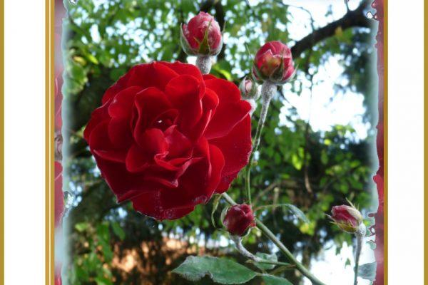 Späte Rosen blühen schön